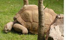 http://upload.wikimedia.org/wikipedia/commons/4/41/Tortoise.aldabra.750pix.jpg