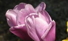 Prawidłowe sadzenie narcyzów i tulipanów