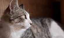 """Jak zrozumieć """"mowę"""" kota?"""