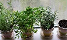 Jak uprawiać zioła?