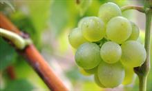 Witaminy występujące w winogronach