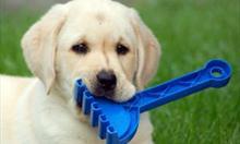 Jak pielęgnować Labradora?