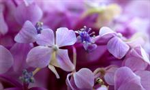 Zmieniamy kolor hortensjom