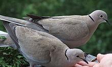 Gołębie na balkonie - kilka sposobów na pozbycie się ich