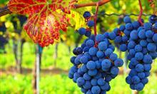 Wady i zalety winogron