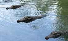Jak krokodyl pływa bez płetw?